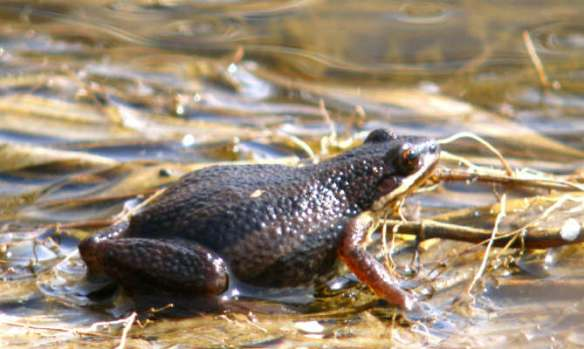 An Environment Canada scientist concluded that a proposed real estate project could drive the western chorus frog to extinction in habitats in La Prairie, a suburb on Montreal's south shore. Photo courtesy of Raymond Belhumeur, Nature Québec